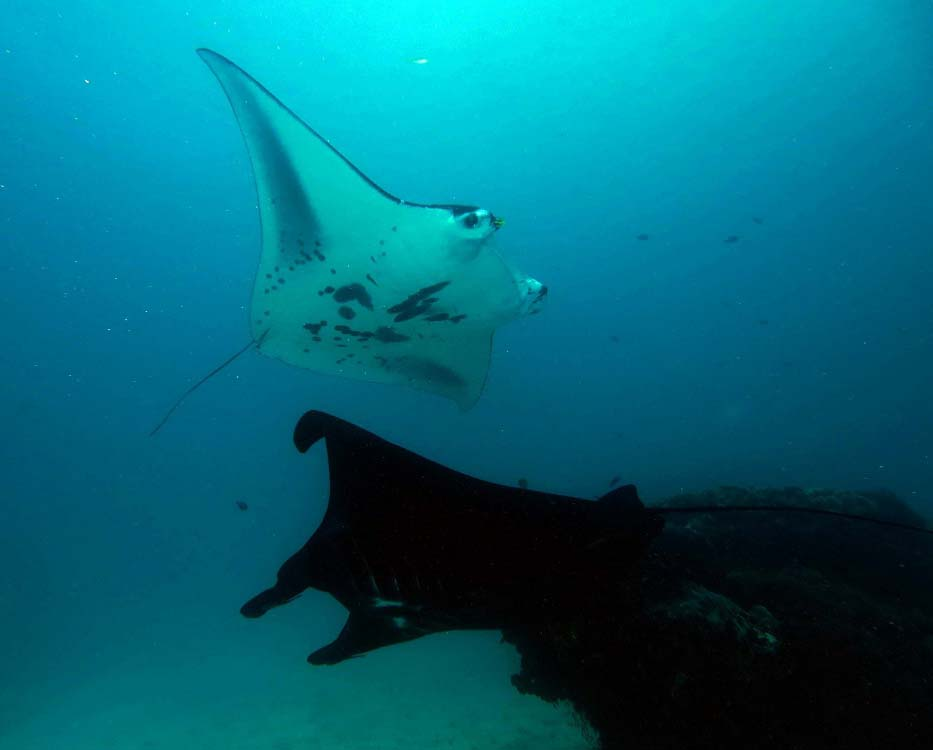 barefoot manta ray research-small