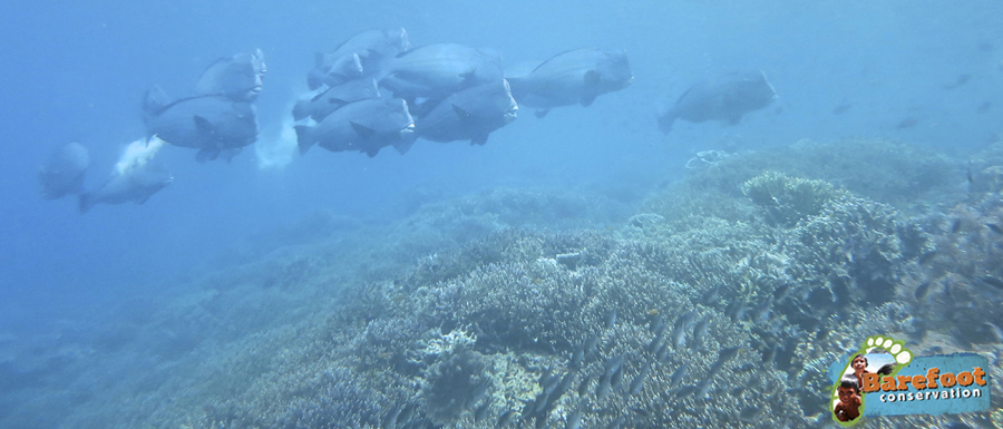Bumphead Parrotfish-wm-blog
